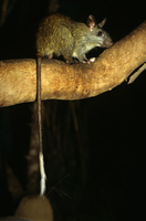 Black-footed tree-rat (Mesembriomys gouldii) in tree at nigh