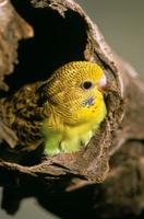 Budgerigar (Melopsittacus undulatus) Central Australia, Aust 32273000475| 写真素材・ストックフォト・画像・イラスト素材|アマナイメージズ