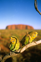 Budgerigar  (Melopsittacus undulatus) Central Australia, Aus 32273000476| 写真素材・ストックフォト・画像・イラスト素材|アマナイメージズ