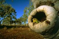 Budgerigar (Melopsittacus undulatus) Central Australia, Aust 32273000477| 写真素材・ストックフォト・画像・イラスト素材|アマナイメージズ
