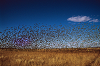 Budgerigars (Melopsittacus undulatus) large flock in flight,