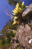 Rock lily Dendrobium speciosum