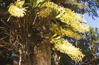Orchid Dendrobium speciosum