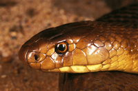 Western brown snake (Gwardar) (Pseudonaja nuchalis) close up