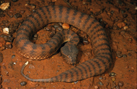 Pilbara death adder Acanthophis wellsi Tom Price, Western Au
