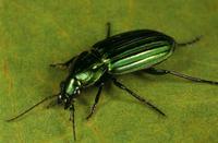 Tiger beetle (fam. Carabidae) Ruabon, Western Australia 32273000595| 写真素材・ストックフォト・画像・イラスト素材|アマナイメージズ