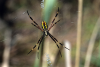 Cross spider, Western Australia