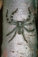 Huntsman spider Fam. Heteropodidae Shell Beach, Peron Penins