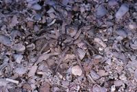 Wolfspider fam. Lycosidae Shark Bay, Western Australia