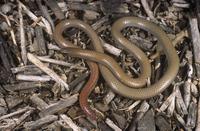 Flinders Ranges worm-lizard Aprasia pseudopulchella curled o