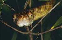 Brown tree snake Boiga irregularis head, close, moving throu