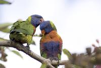 Rainbow lorikeet Trichoglossus haematodus pair preening in a 32273000663| 写真素材・ストックフォト・画像・イラスト素材|アマナイメージズ