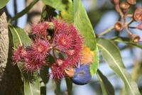 Rainbow lorikeet Trichoglossus haematodus feeding on Swamp b 32273000664| 写真素材・ストックフォト・画像・イラスト素材|アマナイメージズ