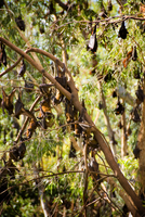 Little red flying foxes  (Pteropus scapulatus),  roosting.