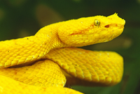 Eyelash viper Bothriechis schlegeli lives in tropical rainfo