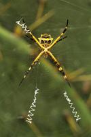 Silver argiope (Argiope argentata) in web, Texas, USA