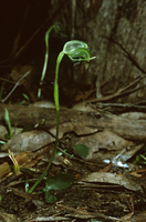 Nodding greenhood orchid (Pterostylis nutans) coastal heathl