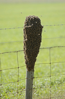Honey bee (Apis mellifera) wild swarm clinging to a fence po