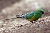Red-rumped parrot (Psephotus haematonotus) male (female is d 32273001124| 写真素材・ストックフォト・画像・イラスト素材|アマナイメージズ
