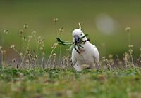 Sulphur-crested cockatoo (Cacatua galerita) pulling up dande