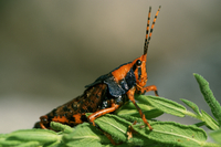 Leichhardt grasshopper (Petasida ephippigera) Mount Borradai