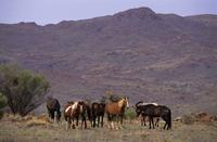 Feral horses (brumbies) (Equus caballus) herd, Musgrave Rang