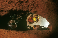Australian honeypot ants Camponotus inflatus repletes & work