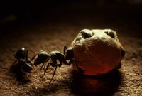 Honeypot ants (Melophorus bagoti) Amadeus Basin, Northern Te