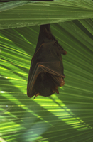 Little red flying fox  (Pteropus scapulatus),  roosting.  Ma