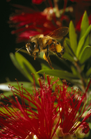 Honey bee  (Apis mellifera),  hovering over Bottlebrush (Cal