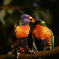 Rainbow lorikeet (Trichoglossus haematodus) mutual feeding ( 32273001483| 写真素材・ストックフォト・画像・イラスト素材|アマナイメージズ
