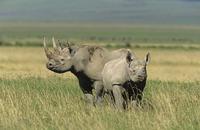 Black rhinoceros Diceros bicornis two animals
