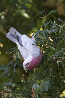 Galah (Eolophus roseicapillus) feeding on flowers of NSW Chr