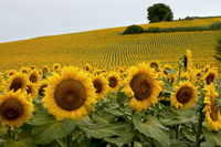 Sunflowers (Helianthus annuus) commercial crop, Midi-Pryenee