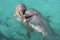 ハンドウイルカ(バンドウイルカ)の母子 32273001724| 写真素材・ストックフォト・画像・イラスト素材|アマナイメージズ