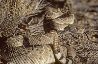 ニシダイヤガラガラヘビ