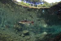 透明な流れに泳ぐヤマメ 32277000345| 写真素材・ストックフォト・画像・イラスト素材|アマナイメージズ