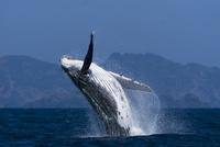 ザトウクジラのブリーチング 連続