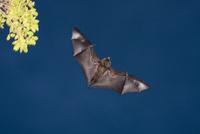空を飛ぶオガサワラオオコウモリ