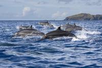 ジャンプするハシナガイルカの群れ