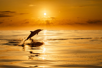 夕日をバックにジャンプするハシナガイルカ 32282000572| 写真素材・ストックフォト・画像・イラスト素材|アマナイメージズ