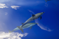 凪の海を泳ぐマダライルカ