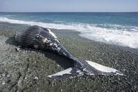 海岸に座礁したザトウクジラ