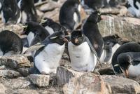 イワトビペンギンのカップル