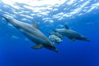 小笠原の海を泳ぐミナミハンドウイルカの群れ