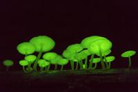 夜間に発光するグリーンペペ(ヤコウタケ)