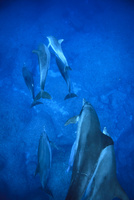 群れで泳ぐ小笠原のミナミハンドウイルカ