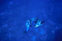 小笠原のミナミハンドウイルカ