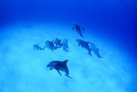 白砂の海を泳ぐミナミハンドウイルカの群れ