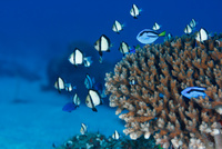 サンゴに住むナンヨウハギとフタスジリュウキュウスズメダイ